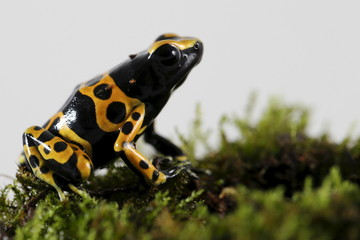 A Dendrobates leucomelas frog is pictured at a terrarium in Caracas