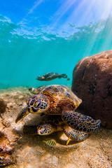 Endangered Hawaiian Green Sea Turtle swimming in the warm waters of the Pacific Ocean in Hawaii