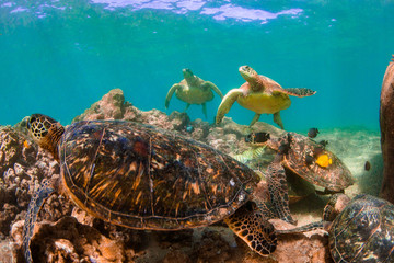 Wall Mural - Endangered Hawaiian Green Sea Turtle swimming in the warm waters of the Pacific Ocean in Hawaii
