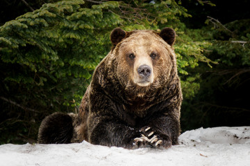 North American Grizzly Bear in snow in Western Canada