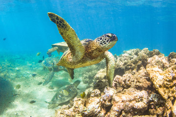 Hawaiian Green Sea Turtle swimming in the warm waters of the Pacific Ocean in Hawaii