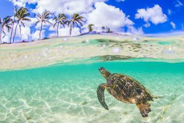 Wall Mural - Hawaiian Green Sea Turtle swimming in the warm waters of the Pacific Ocean in Hawaii