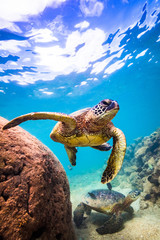 Fototapete - Hawaiian Green Sea Turtle swimming in the warm waters of the Pacific Ocean in Hawaii