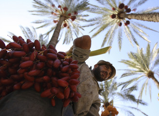 A farmer collects dates from palm trees during the harvest season at al-Zahrani farm in southern Lebanon