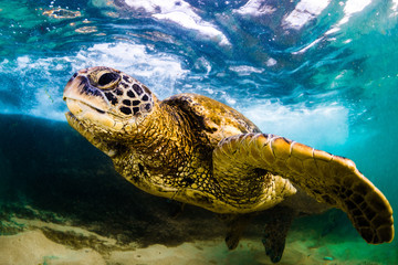 An endangered Hawaiian Green Sea Turtle cruises in the warm waters of the Pacific Ocean in Hawaii.