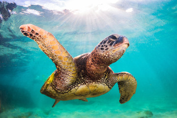 Fototapete - An endangered Hawaiian Green Sea Turtle cruises in the warm waters of the Pacific Ocean in Hawaii.