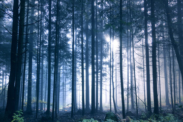 Wall Mural - Magical blue colored foggy light in the forest tree landscape.