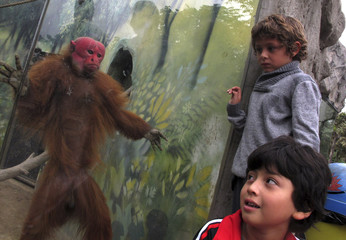 Children look at a Red Uakari Monkey (Cacajao calvus) at Huachipa Zoo in Lima