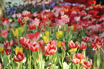 Tulip. Flower field of colorful tulips in spring. Colorful tulips in the garden, Fresh blooming tulips in the spring garden. Spring landscape. Tulip Flower Field.