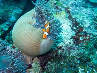 Anemonefish in anemone home