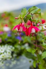 Beautiful fuchsia flowers in the garden.