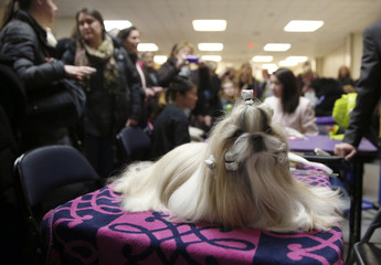 """Rocket, a Shih Tzu and winner of the Toy Group, sits before the """"best in show"""" judging at the 2015 Westminster Kennel Club Dog Show in New York"""