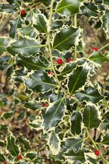 Ilex aquifolium, common, English, European, Christmas holly,