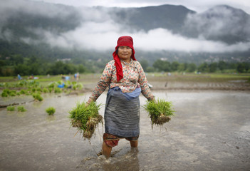 A farmer holds rice saplings as she walks in the paddy field at Khokana in Lalitpur