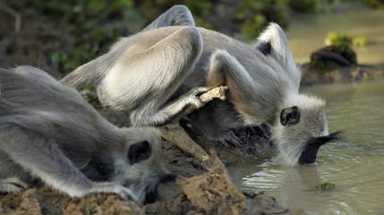 Black face Sri Lankan monkeys drink water from a lake at Yala National Park in Yala