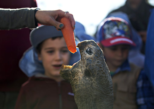 Hugo, a 63-year-old Galapagos Tortoise, is enticed out of his enclosure with a carrot fed to him by a keeper before his annual weighing at the Australian Reptile Park in Somersby near Sydney
