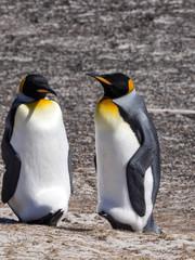 King Penguin, Aptenodytes patagonicus, of Sounders Island, Falkland Islands-Malvinas