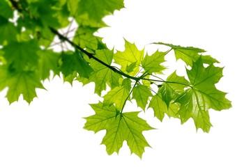 Fototapeta Maple leaves in backlight obraz