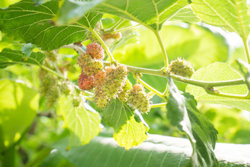 Ripe and unripe mulberry on tree branch