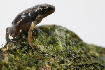 A Mannophryne herminae frog is pictured at a terrarium in Caracas