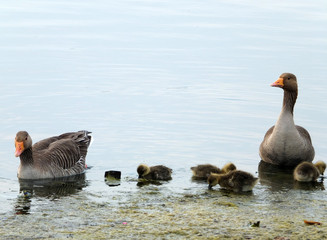 greylag gees and goslings swimming