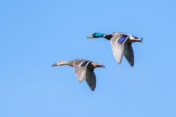 Stockente (Anas platyrhynchos) Enten Paar fliegt über den Teich