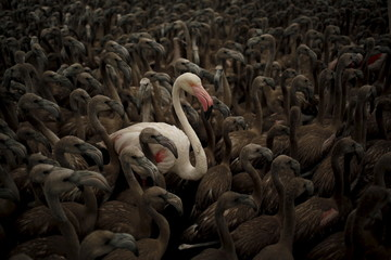 Flamingo and flamingo chicks are seen in a corral before being fitted with identity rings at dawn at a lagoon in the Fuente de Piedra natural reserve, in Fuente de Piedra, near Malaga, southern Spain