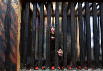 A rat bares its teeth from a cage near a man selling an electronic device, which he claims would scare rodents away, at a roadside stall in Yangon