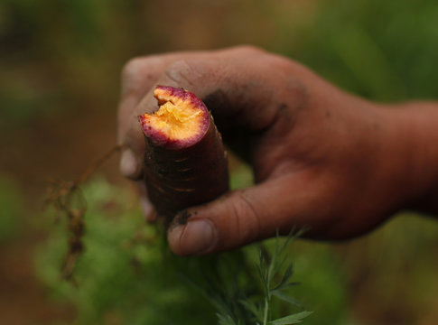 Makoto Chino eats a purple haze carrot as he works harvesting the morning's vegetables and fruit from his family's farm in Rancho Santa Fe, California