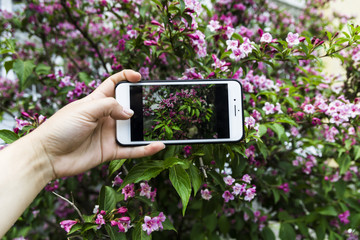 Girl photographed a pink bush on a smartphone
