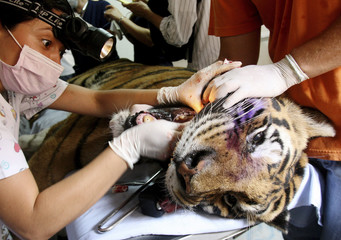 Socrates, a 20-year old male tiger undergoes dental treatment to remove a broken tooth in Cali