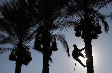 A Palestinian farmer harvests dates from a palm tree in Deir al-Balah in the central Gaza Strip