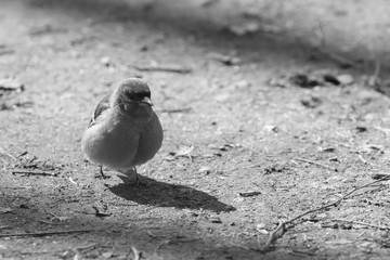 Little fat bird in sunlight - black and white