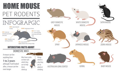 Mice breeds icon set flat style isolated on white. Mouse rodents collection. Create own infographic about pets