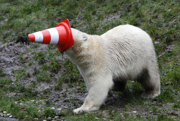 A polar bear plays with a pylon during celebrations marking its first birthday in an enclosure at Tierpark Hellabrunn zoo in Munich