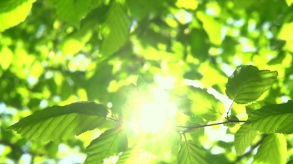 Fototapete - Nature background. Sun shining through the blowing on wind tree green leaves. Slow motion 4K UHD video 3840X2160