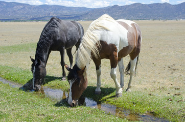 Two Mountain Horses Drinking from a Stream