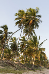 tropical coconut palm trees on the beach during summer sunset