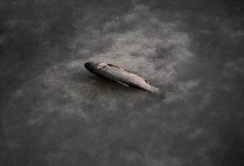 A fish whose tail is stuck in a partially frozen fish farm is seen near an abandoned steel mill of Qingquan Steel Group in Qianying township, Hebei province