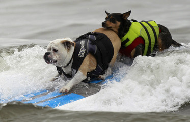 Two dogs ride a surfboard at a surf dog contest in Huntington Beach, California