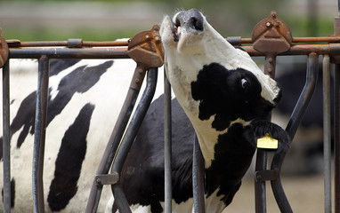 A dairy cow works her head out of a feed trough in Chino.