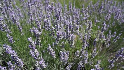 California Lavender field