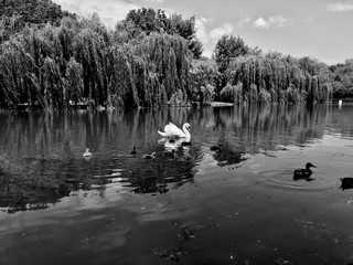 Swan with babies on the lake black and white