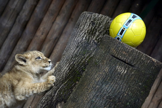 Ono of two fourteen-week old Barbary lions (Panthera leo leo), a male named Ramzes and a female named Zara, plays with a ball after a naming ceremony at the Bojnice Zoo