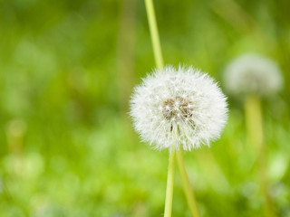 Dandelion with a Blurred Background