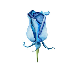 The blue rose flower isolated on white background, watercolor illustration in hand-drawn style.