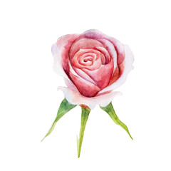 The pink rose flower isolated on white background, watercolor illustration in hand-drawn style.