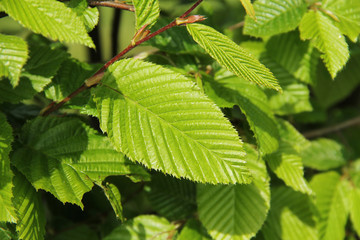 close photo of green leaves of hazel tree