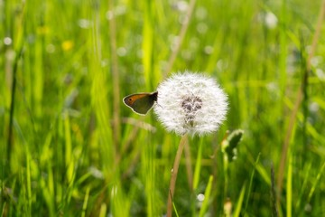 Butterfly on dandelion flower. Slovakia