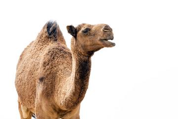 Poster Kameel Desert Camel